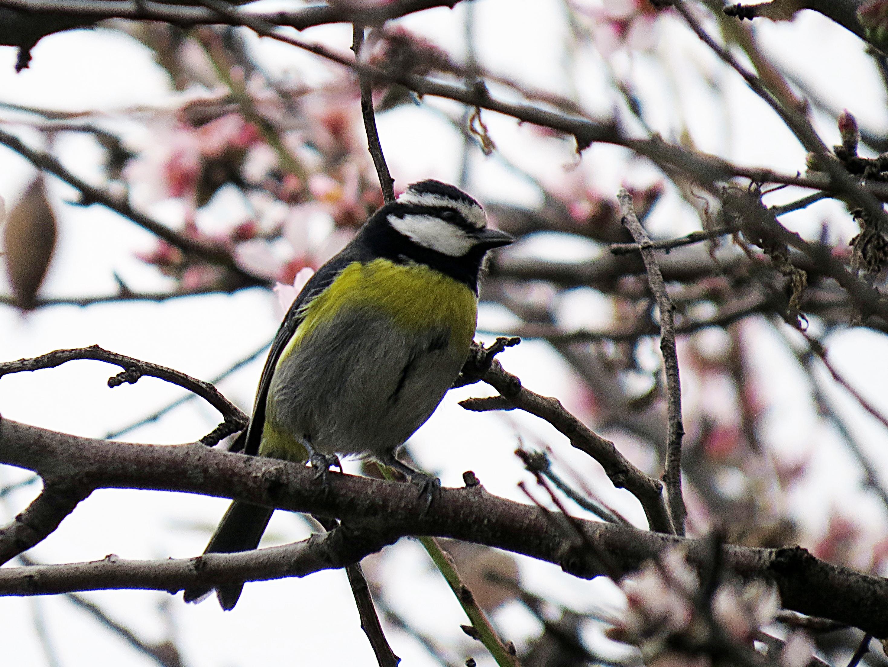 Vogels Nederland Tuin : Vogels op la palma